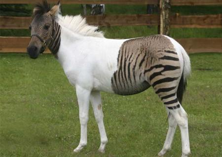 potro zebra